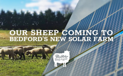 Our Sheep Coming to Bedford's New Solar Farm