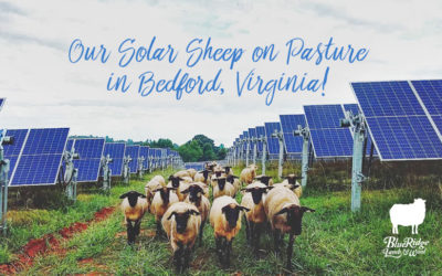 Solar Sheep on Pasture in Bedford, Virginia!